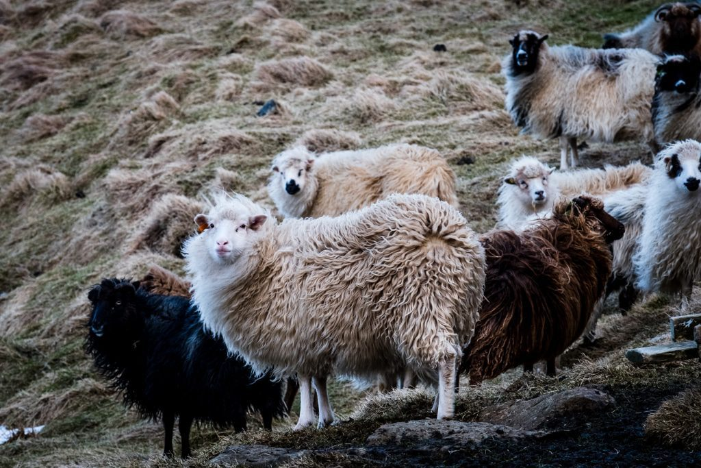 Sheeps on the Faroe Islands